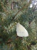 Mariposa en árbol de pino Imagen de archivo libre de regalías