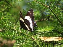 Mariposa en árbol Spruce Fotos de archivo