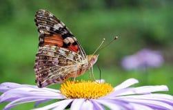 Mariposa en aster azul Fotos de archivo