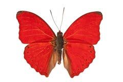 Mariposa en blanco Imagen de archivo