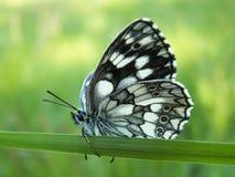 Mariposa en Brod Moravice Imagen de archivo libre de regalías