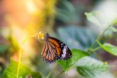 Mariposa en campo de hierba con la luz caliente Fotografía de archivo