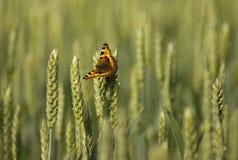 Mariposa en campo de maíz imágenes de archivo libres de regalías