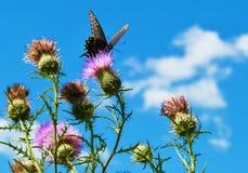 Mariposa en cardo Foto de archivo libre de regalías