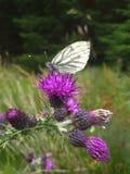 Mariposa en cardo fotos de archivo libres de regalías