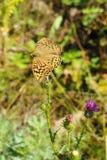 Mariposa en cardo Imagenes de archivo