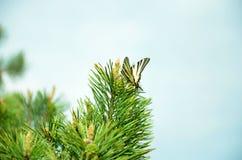 Mariposa en conífera Foto de archivo libre de regalías