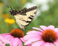 Mariposa en coneflower púrpura fotografía de archivo