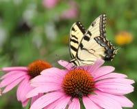 Mariposa en coneflower púrpura Imagenes de archivo