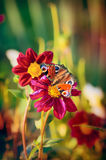 Mariposa en dalias rojas de las flores sobre fondo del jardín Fotografía de archivo libre de regalías