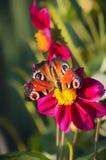 Mariposa en dalias rojas en jardín Imagen de archivo