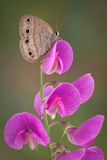 Mariposa en descanso Imagen de archivo libre de regalías