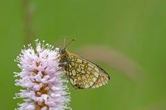Mariposa en el área Eifel de la naturaleza Fotos de archivo libres de regalías