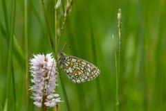 Mariposa en el área Eifel de la naturaleza Imágenes de archivo libres de regalías
