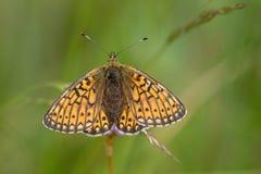 Mariposa en el área Eifel de la naturaleza foto de archivo