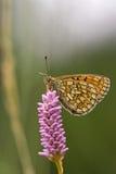 Mariposa en el área Eifel de la naturaleza fotos de archivo