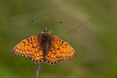 Mariposa en el área Eifel de la naturaleza Imagenes de archivo