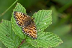 Mariposa en el área Eifel de la naturaleza Imagen de archivo libre de regalías
