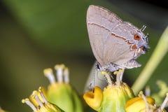 Mariposa en el cierre de la flor para arriba Foto de archivo