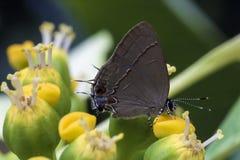 Mariposa en el cierre de la flor para arriba Imagenes de archivo