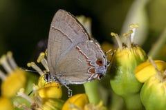 Mariposa en el cierre de la flor para arriba Imagen de archivo libre de regalías