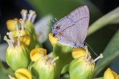 Mariposa en el cierre de la flor para arriba Fotografía de archivo libre de regalías
