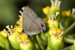 Mariposa en el cierre de la flor para arriba Fotografía de archivo