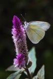 Mariposa en el desayuno Foto de archivo