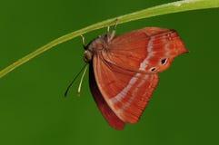 Mariposa en el echerius rojo de Abisara de la ramita Fotografía de archivo libre de regalías