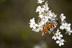 Mariposa en el flor de cereza Foto de archivo libre de regalías