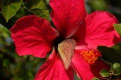 Mariposa en el flor del hibisco Imagenes de archivo