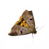 Mariposa en el fondo blanco Foto de archivo