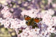 Mariposa en el fondo de la flor de cerezo Imagen de archivo libre de regalías