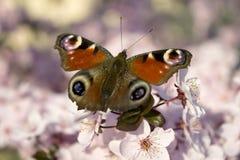 Mariposa en el fondo de la flor de cerezo Foto de archivo