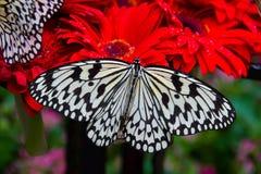 Mariposa gigante en el Gerbera rojo, aeropuerto de Singapur Changi, jardín de la mariposa imagenes de archivo