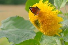 Mariposa en el girasol Imagen de archivo