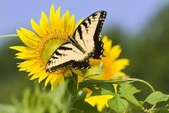 Mariposa en el girasol Fotografía de archivo libre de regalías