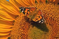 Mariposa en el girasol Foto de archivo libre de regalías