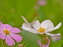 Mariposa en el pétalo de la flor Fotografía de archivo