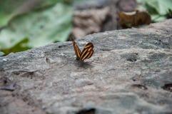 Mariposa en el parque nacional de Ramkhamhaeng, Sukhothai, Tailandia Imagenes de archivo