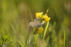Mariposa en el prado del verde del campo del verano Fotos de archivo libres de regalías