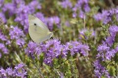Mariposa en el tomillo Foto de archivo libre de regalías