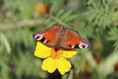 Mariposa en el trabajo Imagenes de archivo