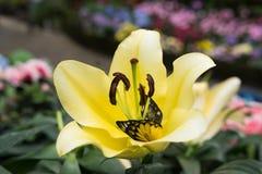 mariposa en flor amarilla del lirio en jardín Flora floreciente Flowe foto de archivo