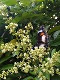 Mariposa en flor del kelengkeng foto de archivo