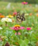 Mariposa en fondo de la flor Foto de archivo libre de regalías