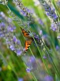 Mariposa en hierba Imágenes de archivo libres de regalías