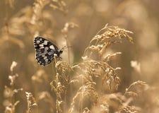 Mariposa en hierba de oro Imagenes de archivo