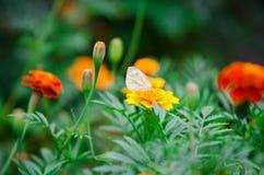 Mariposa en la flor amarilla de la maravilla Fotos de archivo