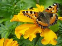 Mariposa en la flor anaranjada Fotografía de archivo